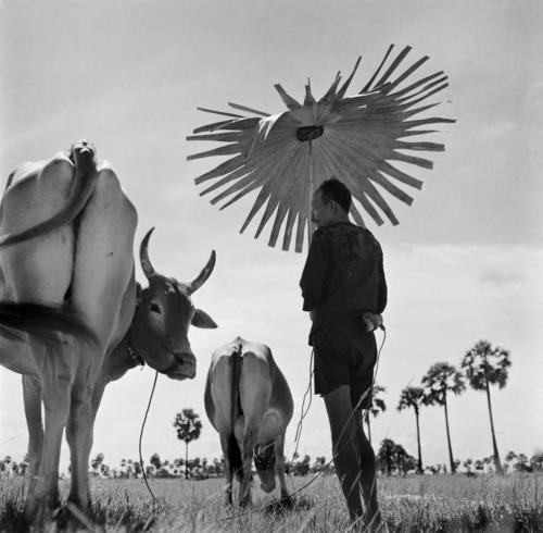"Werner Bischof ""Cambodia, 1952""Farmer shading himself as looks after his grazing cows."